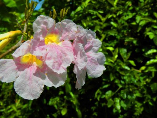 Roble Blanco (Tabebuia heterophylla)