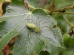Lince Verde (Peucetiaviridans)