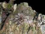 Selenops lindborgi