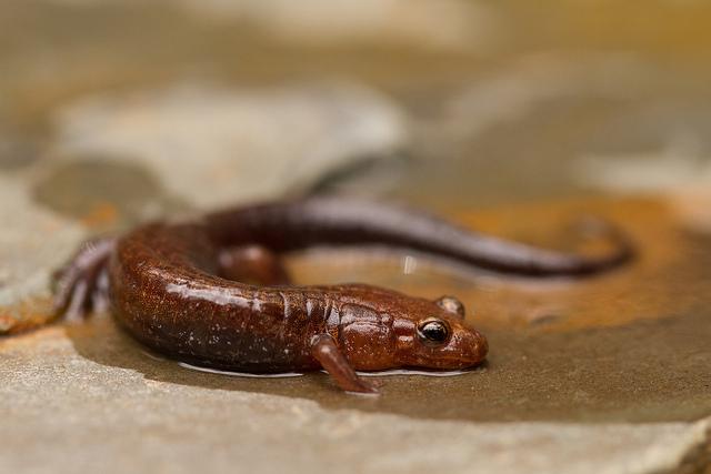 """Las salamandras, contrario a las salamanquesas, tienen la piel sueva y húmeda, lo que da una apariencia de que son """"babosas""""."""